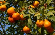 Spanish Orange Trees